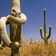 Surrelaistic Saguaro Cactus — Stock Photo