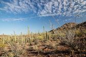 Sonoaran Desert Landscape — Stock Photo