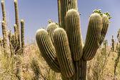 Healthy Saguaro Cactus — Stock Photo