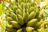 Bunch of Bananas on the Tree — Stock Photo