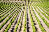 California Vineyard — Stock Photo