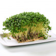 Garden cress - Stock Photo