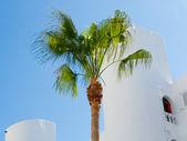 Palmier devant la maison blanchies à la chaux — Photo