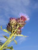 Cardoon flower — Stock Photo
