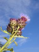 Cardoon flower — Stock Photo