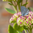 Holly blue butterfly — Stock Photo