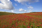Scarlet poppies — Stock Photo