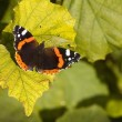 Red admiral butterfly — Stock Photo #13517621