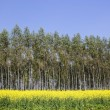 Mustard crops with eucalyptus trees — Stock Photo #21936955