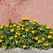 Marigold flowers - Stock Photo
