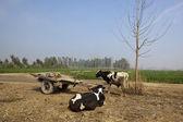 Punjabi cattle and cart — Stock Photo