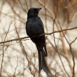 Black drongo — Stock Photo