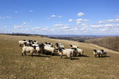 Sheep on the wolds — Stock Photo
