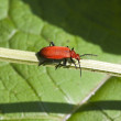 Cardinal beetle — Stock Photo