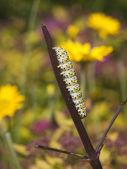 Mullein moth caterpillar — Stock Photo