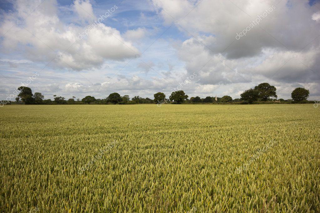 在夏天成熟小麦 — 图库照片
