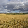 English wheat fields — Stock Photo #30061329
