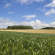 Stock Photo: Summer maize crop
