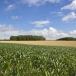 Summer maize crop — Stock Photo #30062797