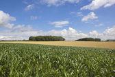 Summer maize crop — Photo