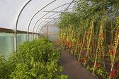Tomato crop — Stock Photo