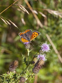 Small copper butterfly on thistle — Stock Photo