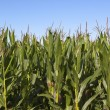 Maize crop — Stock Photo #30523255