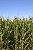 Maize crop — Stock Photo