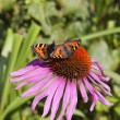 Two small tortoiseshell butterflies — Stock Photo