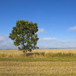 Young wolds way ash tree — Stock Photo #30828451