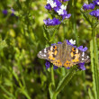 Painted lady butterfly — Stock Photo #30972609