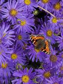 Tortoiseshell butterfly — Stock Photo