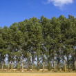 Poplar tree background — Stock Photo