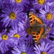 Tortoiseshell butterfly — Stock Photo