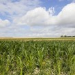 Maize landscape — Stock Photo