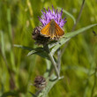 Small skipper butterfly — Stock Photo