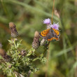 Small copper butterfly — Stock Photo