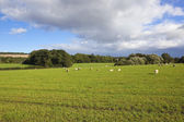 Scenic meadow with sheep — Stock Photo