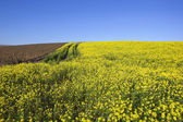 Mustard and potato crops — Stock Photo