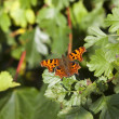 Comma butterfly on foliage — Stock Photo