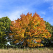 Colorful maple tree — Stock Photo