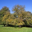Autumn chestnut tree — Stock Photo