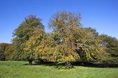 Autumn chestnut tree — Stock Photo