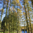 Autumn larch trees — Stock Photo