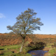 Moorland alder tree — Stock Photo