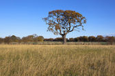Autumn oak tree — Foto de Stock