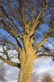冬のシカモア ツリー — ストック写真