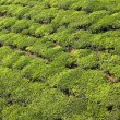 Green tea bush background — Stock Photo