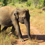 Sri Lankan elephant — Stock Photo #44699455