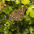 Speckled wood butterfly in springtime — Stock Photo #47154909